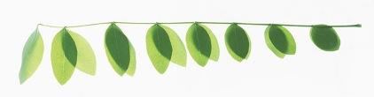 leafgrape
